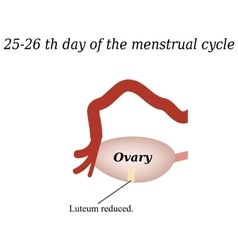 25-26 days of the menstrual cycle - reducing the vector