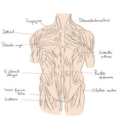 torso muscles front color vector image
