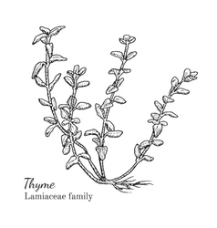 Ink thyme hand drawn sketch vector image vector image