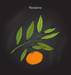 mandarin orange branch vector image vector image