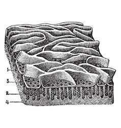 Mucous membrane from the jejunum vintage vector