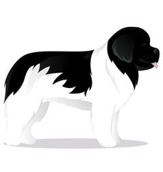newfoundland dog white vector image vector image