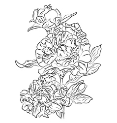 black and white ink sketch peonies vector image