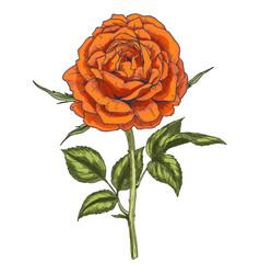 hand drawn orange rose flower isolated on white vector image