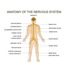 Anatomy of the nervous system vector