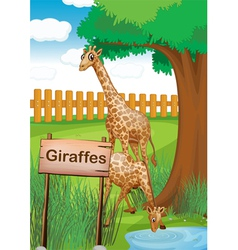 Giraffes inside the wooden fence vector image