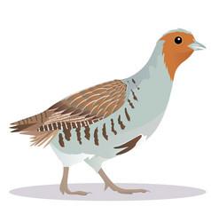 partridge bird vector image vector image