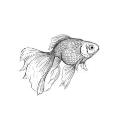 Goldfish drawing engraving vector