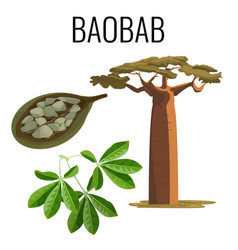 african baobab tree and fruit with seeds color vector image