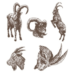 Goat drawing isolated vector