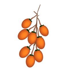 Ripe betel palm fruit on white background vector