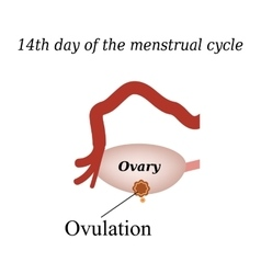 14 day of the menstrual cycle - ovulation vector