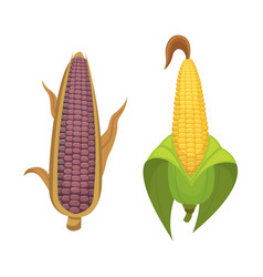 Organic corn isolated on white background vector