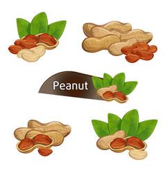 peanut kernel in nutshell with leaves set vector image