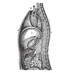 A side view of the lacteals and thoracic duct vector