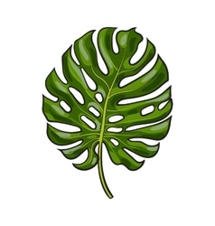 Full leaf of monstera palm tree sketch vector