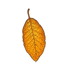 Hand drawn dry tobacco leaf vector image