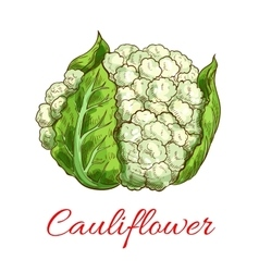 Green cauliflower isolated vegetable vector
