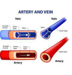 artery and vein vector image