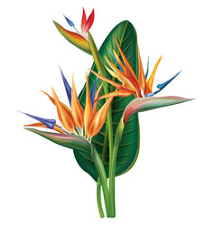 strelitzia reginae flower on white vector image vector image