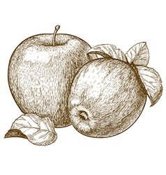 engraving two apples vector image