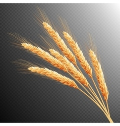 Wheat ears isolated EPS 10 vector image