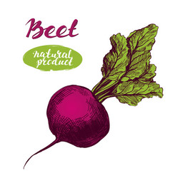 beet vegetable detailed engraved vintage hand vector image vector image