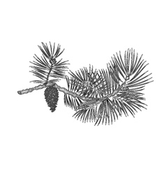 Pine branch and pine cone as vintage engraving vector