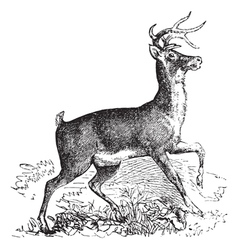Virginia deer vintage engraving vector image