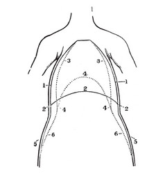 A front view of the chest and abdomen in vector