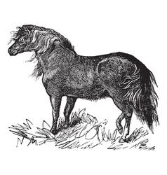 Shetland Pony vintage engraving vector image