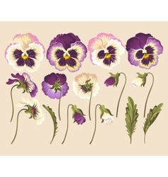 Set of pansy flowers vector