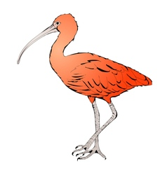Red Ibis vector image
