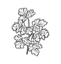 Coriander herb cilantro chinese parsley leaves vector
