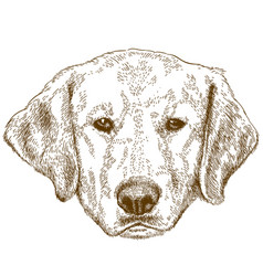 engraving of labrador head vector image vector image