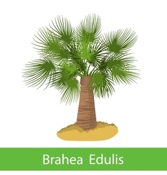 Brahea edulis cartoon tree vector