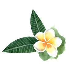 Watercolor frangipani flower vector