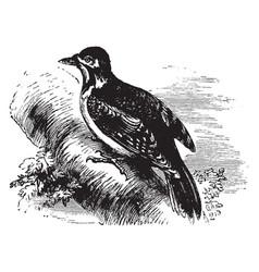 European spotted woodpecker vintage vector