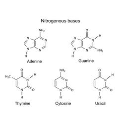 Purine and pyrimidine nitrogenou vector
