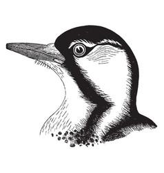 Red cockaded woodpecker vintage vector