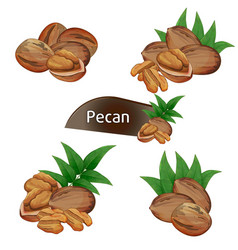 Pecan kernel in nutshell with leaves set vector