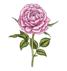 Hand drawn pink rose flower isolated on white vector
