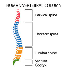 diagram of a human spine vector image vector image