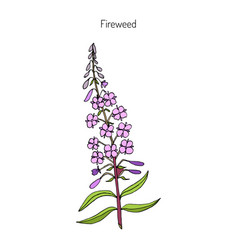 fireweed chamerion angustifolium vector image vector image