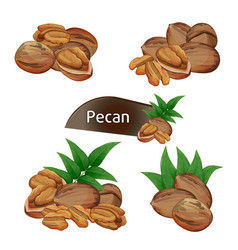 pecan kernel in nutshell with leaves set vector image