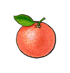 Whole shiny ripe pink grapefruit red orange with vector