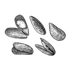 mussels drawing engraving ink lin vector image vector image