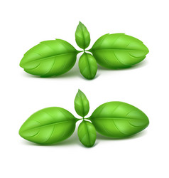 set of green basil leaves on white background vector image vector image