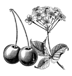 Cherry with leaves and flowers vintage engraving vector