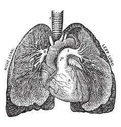 The pulmonary artery vintage vector